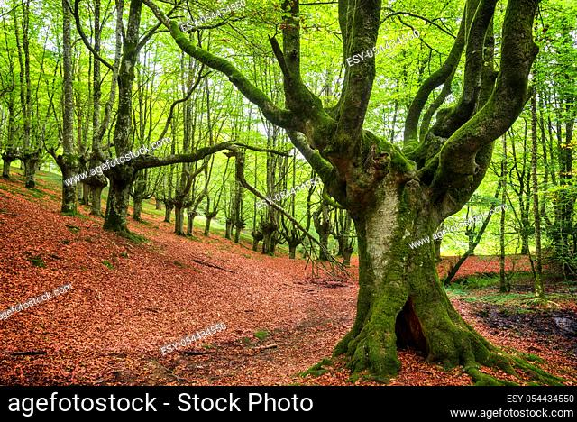 Idyllic forest landscape with mossy beech trees