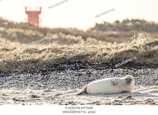 Germany, Helgoland, Duene Island, grey seal pup lying on the beach