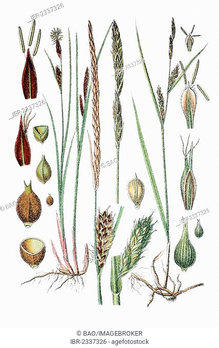 Slender Sedge or Woollyfruit Sedge (Carex lasiocarpa), left, and Hairy Sedge (Carex hirta), right, medicinal plant, historical chromolithography, circa 1796