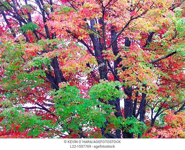Acer rubrum Red Maple, also known as Swamp, Water or Soft Maple. The national flag of Canada is a red flag with a white square in its centre