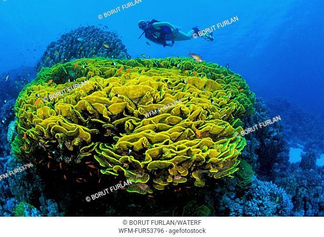 Scuba Diver over Lettuce Coral, Turbinaria reniformis, Marsa Alam, Red Sea, Egypt