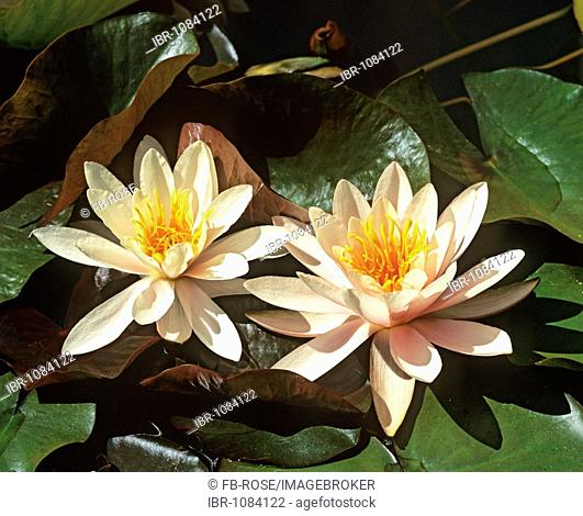 Blossoming Water Lilies (Nymphaea)