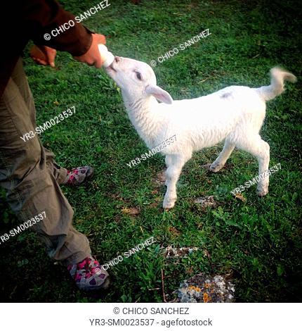 A woman feeds a lamb with a feeding bottle of milk in Prado del Rey, Sierra de Grazalema, Andalusia, Spain