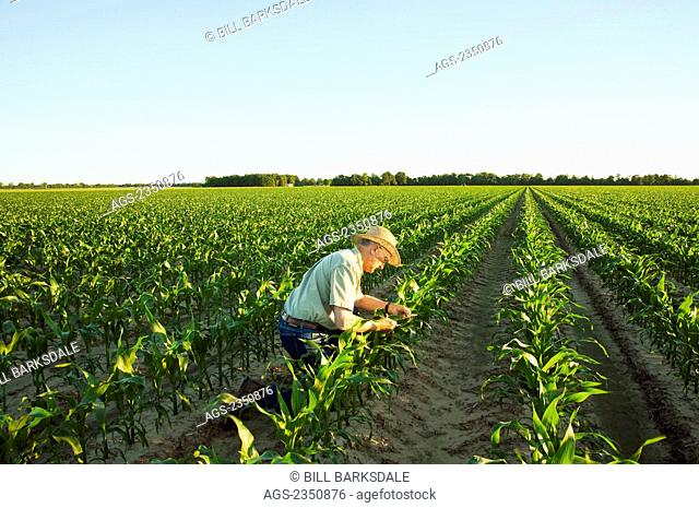 Agriculture - A farmer (grower) examines mid growth grain corn plants at the 12 leaf stage in early morning light / near England, Arkansas, USA