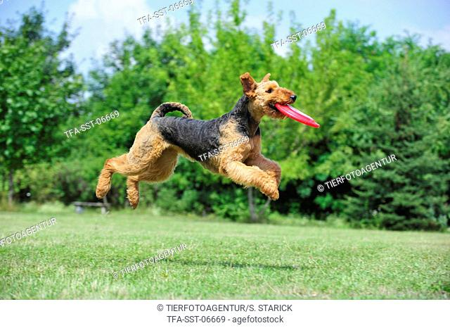 playing Airedale Terrier
