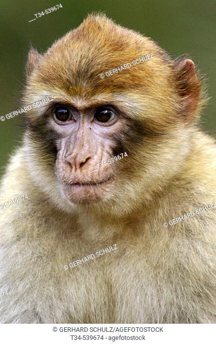 Young Barbary Macaque (Macaca sylvana)