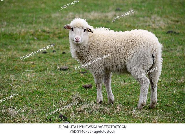 Lamb on pasture, Parc Naturel Regional des Volcans d'Auvergne - Auvergne Volcanoes Natural Regional Park, Murol, Puy de Dome, Auvergne, Auvergne-Rhône-Alpes