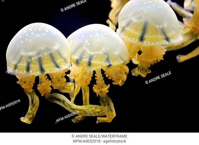 Lagoon Jellyfish, Mastigias sp., Oahu, Hawaii, USA