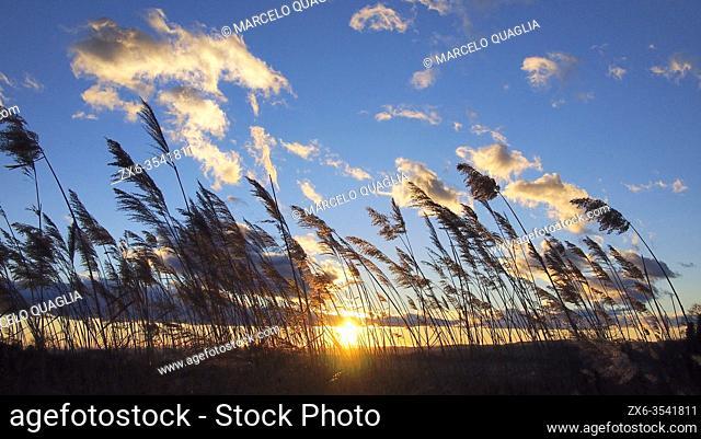 Reeds (Phragmites communis) at sunset. Olost village countryside. Lluçanès region, Barcelona province, Catalonia, Spain
