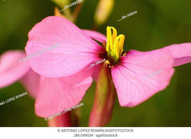 Purple Mistress (Moricandia arvensis) flower