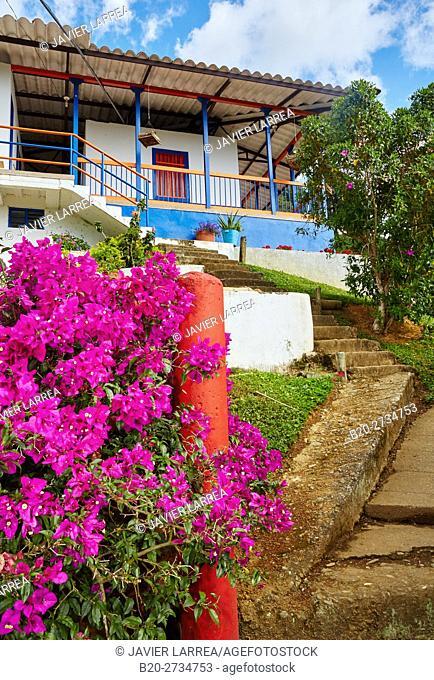 Bougainvillea, Hacienda San Alberto, Cafetal, Coffee plantations, Coffee Cultural Landscape, Buenavista, Quindio, Colombia, South America