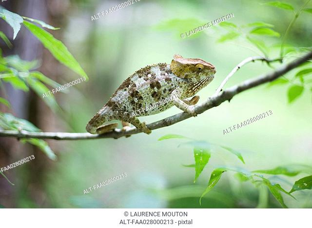 Chameleon resting on branch, side view