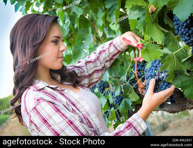 Young Mixed Race Woman Harvesting Grapes in the Vineyard Outside