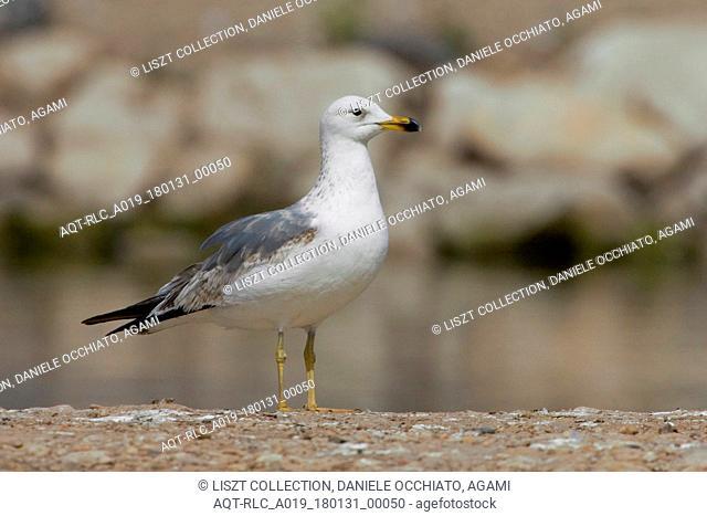Immature Armenian Gull, Armenian Gull, Larus armenicus