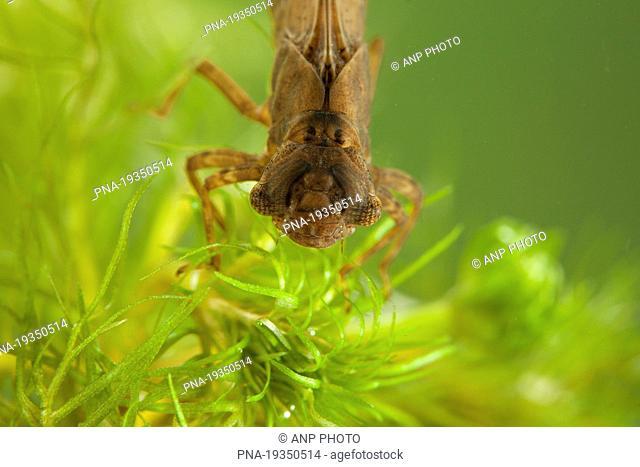 Hairy Dragonfly Brachytron pratense - Wetering, Steenwijkerland, Overijssel, The Netherlands, Holland, Europe