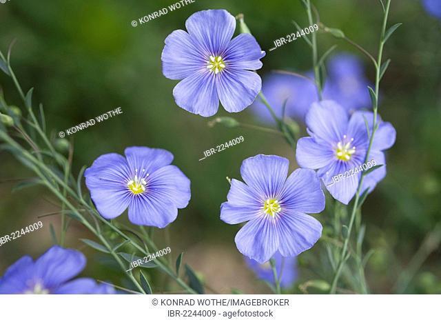 Perennial Flax or Blue flax (Linum perenne), Bulgaria, Europe