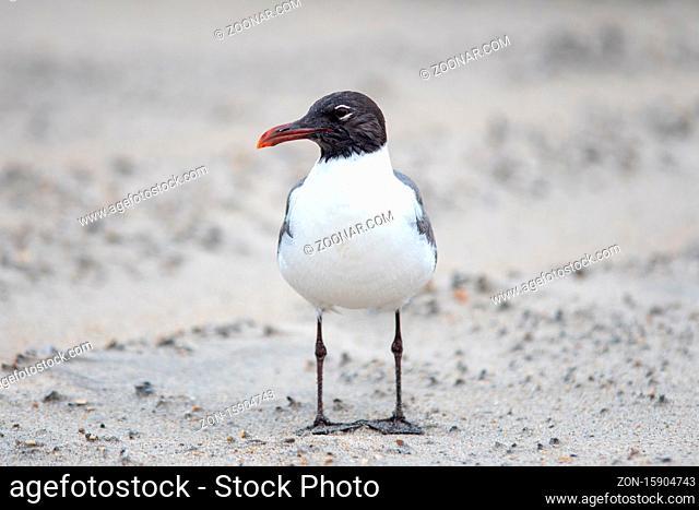 seagull wondering around fort fisher beach north carolina