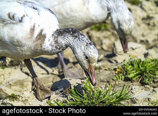 Snow Geese Beaks Close Eating Grass Skagit Valley Washington