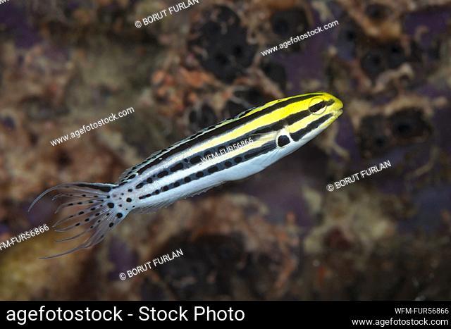 Striped Fang Blenny, Meiacanthus grammistes, Komodo, Indonesia