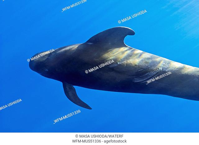 Short-finned Pilot Whale Bull, Globicephala macrorhynchus, Big Island, Pacific Ocean, Hawaii, USA