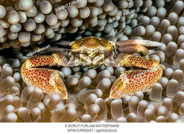 Porcelain Crab in Carpet Sea Anemone, Neopetrolisthes maculatus, Pantar, Alor Archipelago, Lesser Sunda Islands, Indonesia