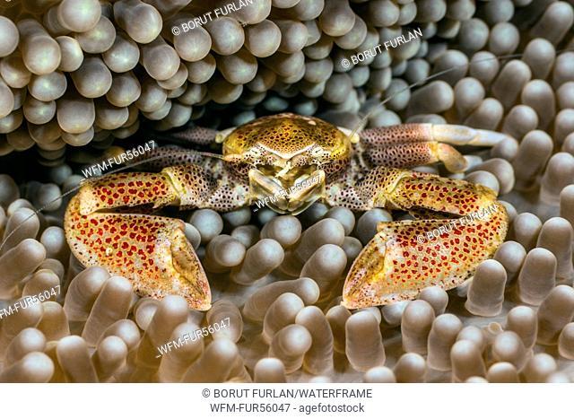 Porcelain Crab in Carpet Sea Anemone, Neopetrolisthes maculatus, Pantar, Alor Archipelago, Lesser Sunda Islands, Indonesia