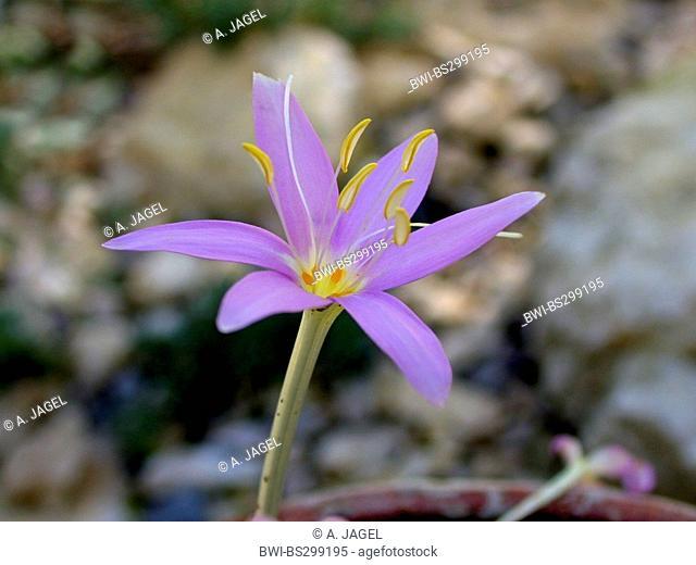 Meadow saffron, Naked lady, Autumn crocus (Colchicum boissieri), flower