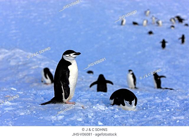 Chinstrap Penguin, (Pygoscelis antarctica), Antarctica, Brown Bluff, group of adults in snow