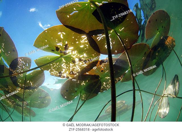 Underwater view of water lilies in a lake of France