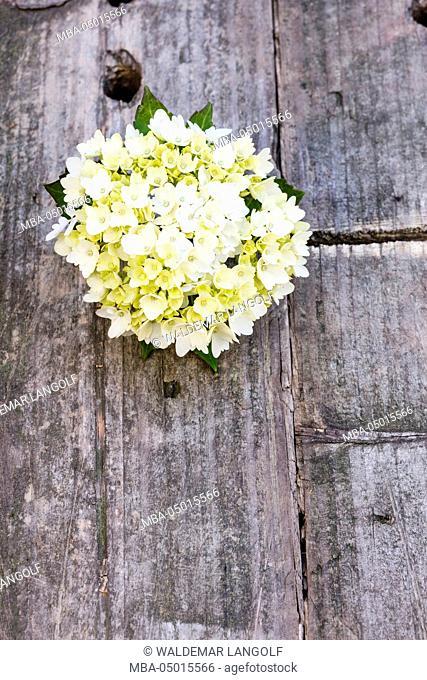 Hydrangea blossom on wooden underground