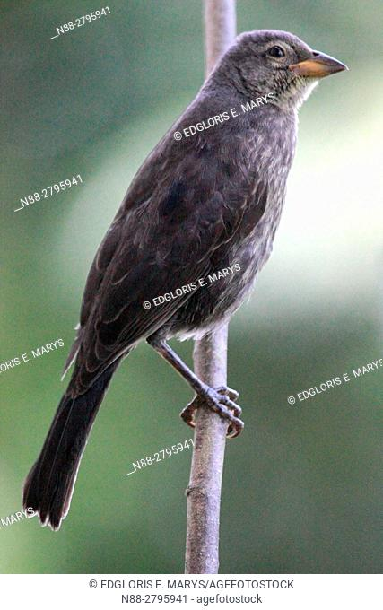 A Molothrus bonairensis cowbird perched in the forest in Venezuelam South America. It is an obligate brood parasite it lays its eggs in the nests of other small...