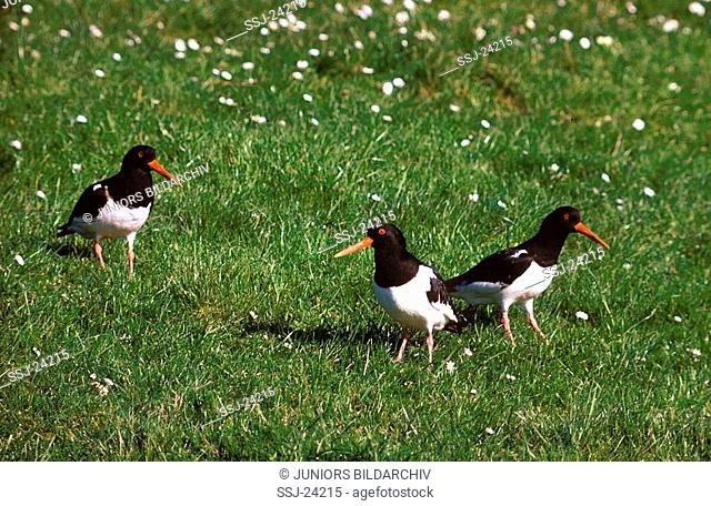 Haematopus ostralegus / Oystercatcher on a blooming meadow