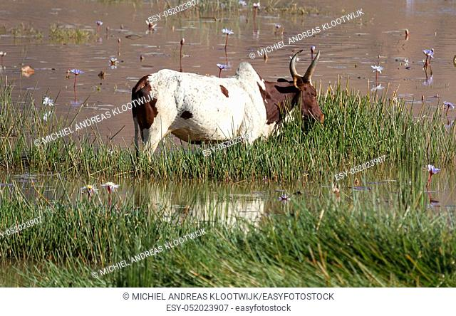 Zebu in the water - The working horse from Madagascar