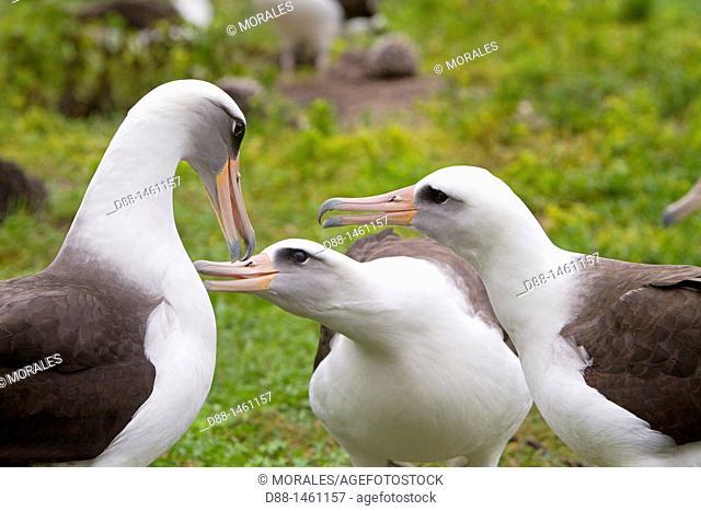 Laysan Albatross (Phoebastria immutabilis), Eastern Island, Midway Atoll National Wildlife Refuge, Hawaii, USA