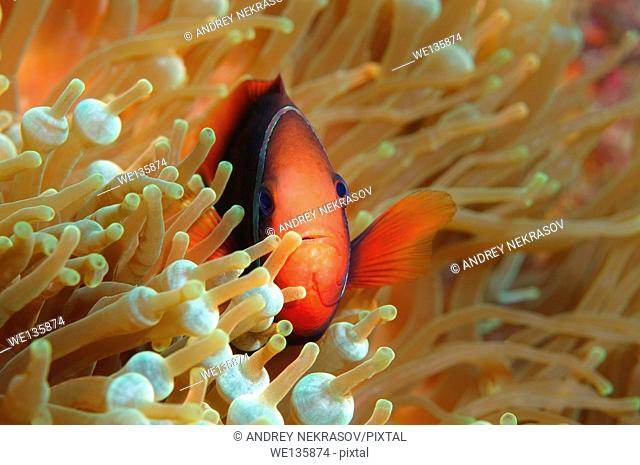 Cinnamon clownfish or Fire clownfish (Amphiprion melanopus), Redang Island, Malaysia, Southeast Asia