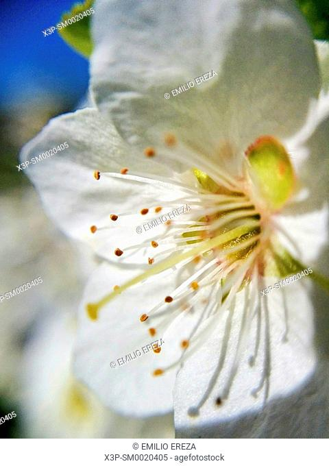 Plum tree flower. Macro