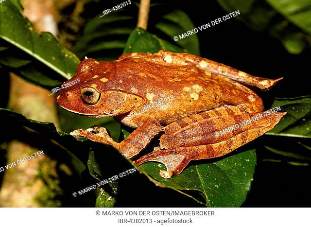 Madagascar brown tree frog (Boophis madagascariensis) on a leaf, Analamazoatra, Andasibe-Mantadia National Park, Madagascar