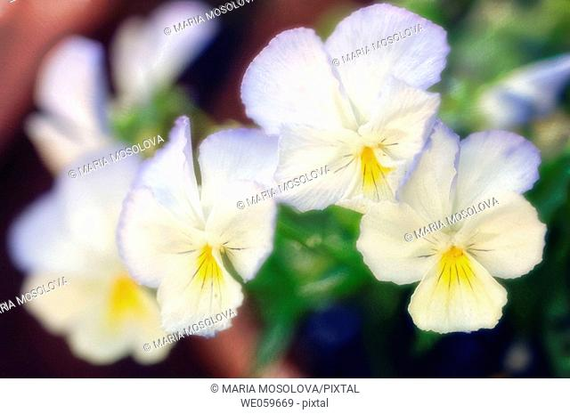 Group of Pansies. Viola x wittrockiana. April 2006. Maryland, USA