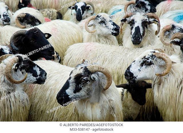 Goats. Dingle peninsula. Co. Kerry. Ireland