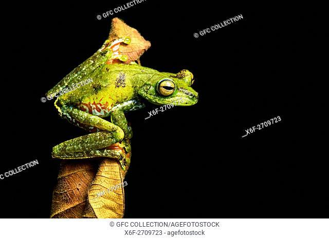 Palm Treefrog (Hypsiboas pellucens), Treefrog family, Choco rainforest, Canande River Reserve, Choco forest, Ecuador