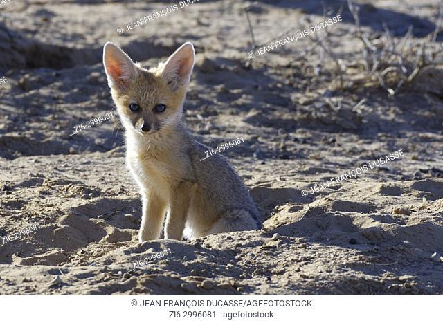 Young Cape fox (Vulpes chama), sitting near the burrow, morning light, Kgalagadi Transfrontier Park, Northern Cape, South Africa, Africa