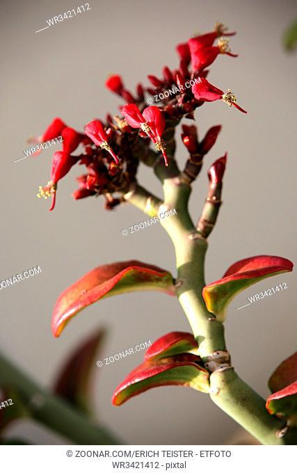 Teufelsrückgrat (Euphorbia tithymaloides), Puerto Naos, Los Llanos de Aridane, La Palma, Kanarische Inseln, Deutschland