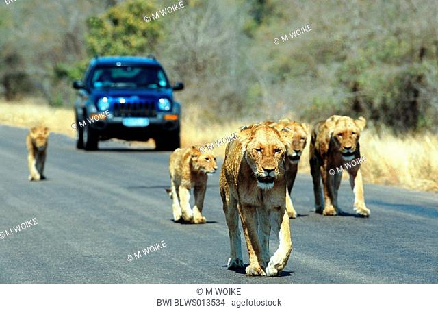 lion Panthera leo, pride of lions walking on street, inhibiting traffic, South Africa, Kruger NP