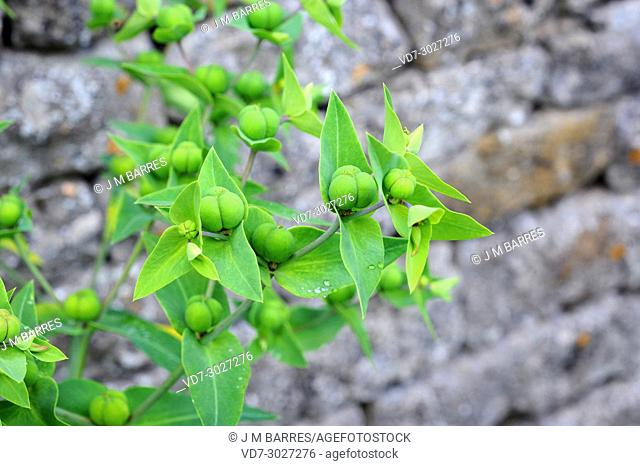 Caper spurge or paper spurge (Euphorbia lathyris) is a biennial herb native to Mediterranean region, Great Britain and Asia. His latex is poisonous