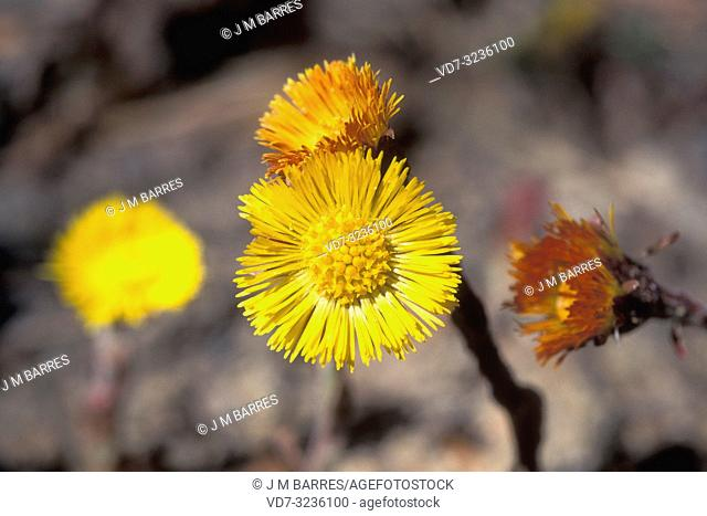 Coltsfoot (Tussilago farfara) s a perennial herb medicinal and poisonous, native to Eurasia. Inflorescence (capitulum) detail