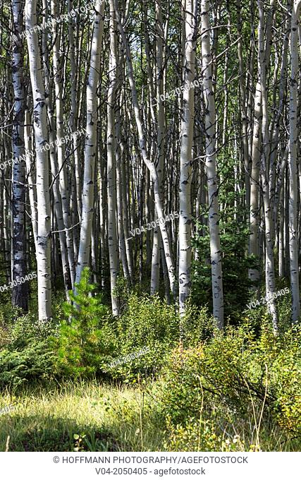 Close up of lots of birch trees in the Jasper National Park, Alberta, Canada