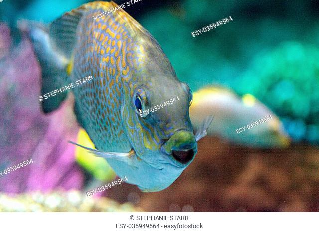 Close up of a Yellowspot rabbitfish Siganus guttatus in a coral reef