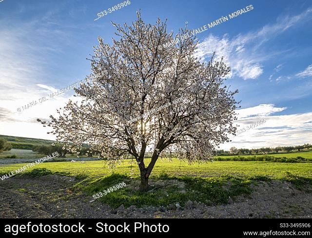 Blooming almond tree and green fiels in Pinto. Madrid. Spain. Europe