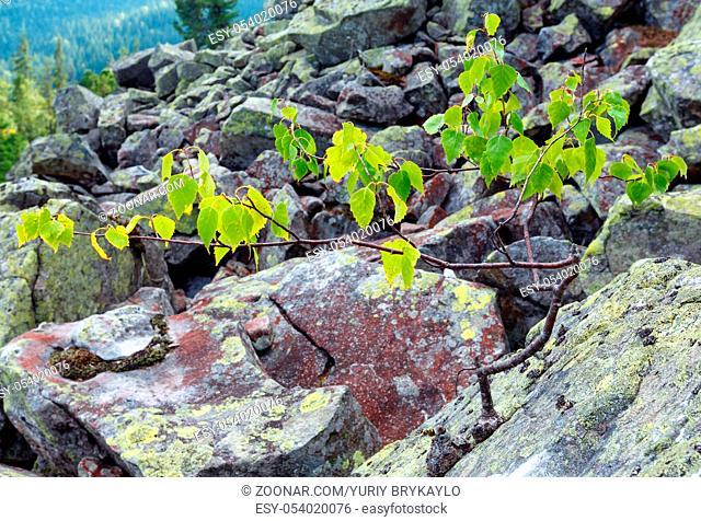 Small birch tree grows up on stone on slide-rocks scree of Ihrovets mount, Carpathian mountain, Ukraine