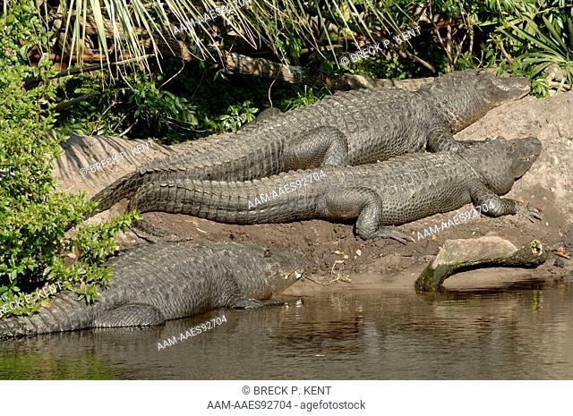 American Alligators (Alligator mississipiensis) St. Augustine Alligator Farm Florida